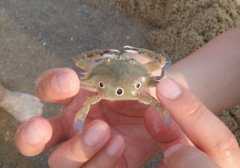 红星梭子蟹的营养价值-红星梭子蟹的做法