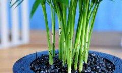袖珍椰子会长侧芽吗?袖珍椰子好养活吗?【种袖珍椰子知识】