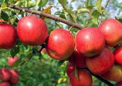 营养饮食大揭秘:吃苹果居然会伤牙!
