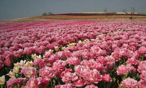 常在花间走活过九十九 五种有美容功能的鲜花