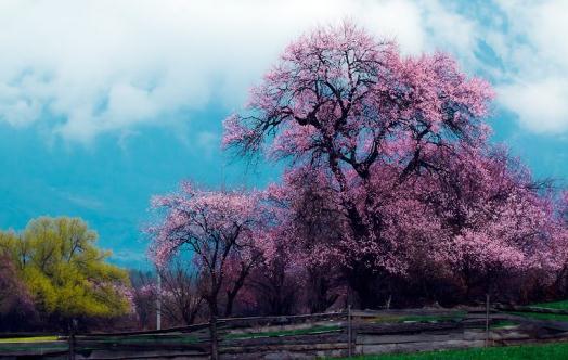 春游林芝赏桃花:沉醉在花的海洋