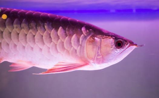 不同的观赏鱼有不同的意义 观赏鱼饲养方法